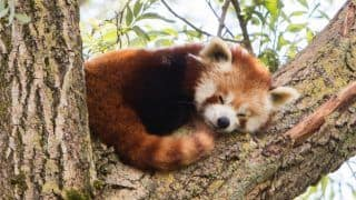 Singalila National Park in India Lifts Ban on Tourists Coming for Red Pandas