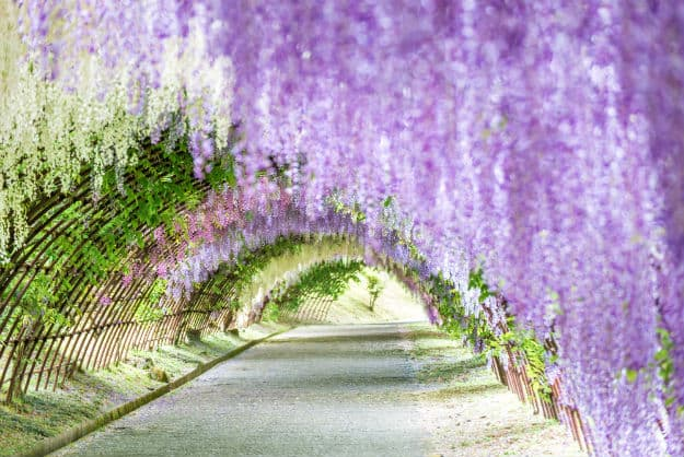 Wisteria Flower Tunnel In Japan S Kawachi Fuji Garden Photos And