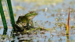 Scientists Make Dating Profile for 'World's Loneliest Frog' in Bolivia