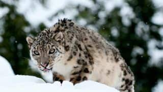 Snow Leopard Photographed in Arunachal Pradesh For the First Time