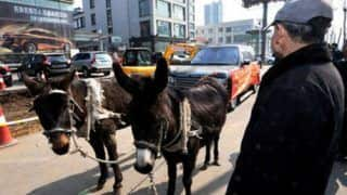 Range Rover gets pulled by donkeys