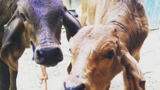 Amazon India to Soon Sell Cow Urine, Dung Based Soaps & Face Packs Made by RSS-backed Group