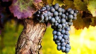 Molecule Found in Grape Skin, Seeds And Red Wine Can Protect Against Lung Cancer: Study