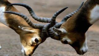 Saurashtra is Home to The Largest Population of Blackbucks in The Country
