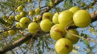 Akshaya Navami 2018: Amla Tree is Worshipped on This Day, Know The Significance, Puja Muhurat