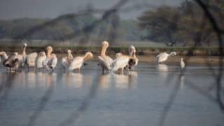 Thol Lake Bird Sanctuary Near Ahmedabad is an Experience in Itself