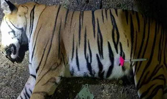 Hunted Tigress Avni's Female Cub Rescued From Maharashtra Forest, Sent to Pench Tiger Reserve