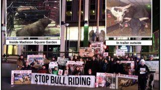 पेटा का दोहरा मानदंड: भारत के जल्लीकट्टू पर गरम, अमेरिका की 'Bull Riding' पर नरम