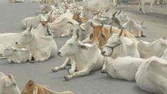 यूपी: योगी सरकार अब गायों को पहनाएगी कोट, जानें क्यों लिया गया ये फैसला