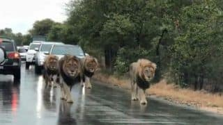 Lions Take Over Road in South Africa as Cars Follow Them Slowly, Video Goes Viral - Watch