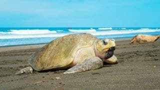 Head to Velas to Catch The Olive Ridley Turtles in Action