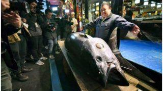 जापान के नये फिश मार्केट में रिकॉर्ड 22 करोड़ में बिकी ये मछली, जानें क्या है खासियत...