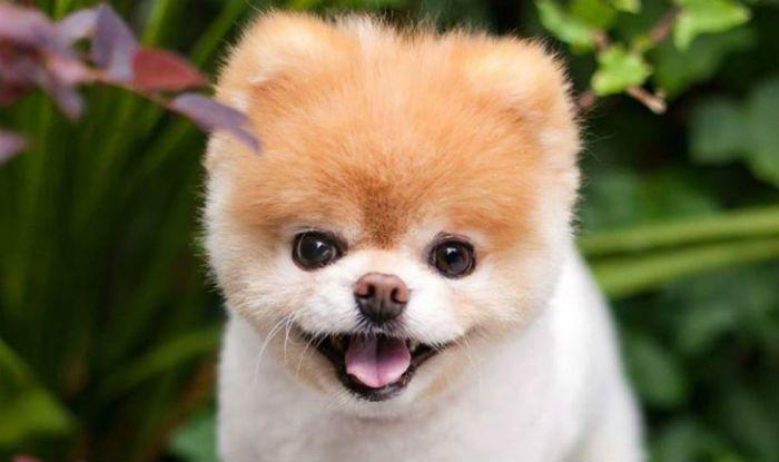 World's cutest dog Boo