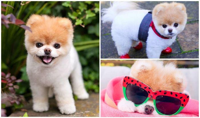 दुनिया का सबसे क्यूट कुत्ता 'बू' नहीं रहा, FB पर हैं 1.5 करोड़ से अधिक फॉलोवर्स, फोटोज़ देख हो जाएंगे फैन