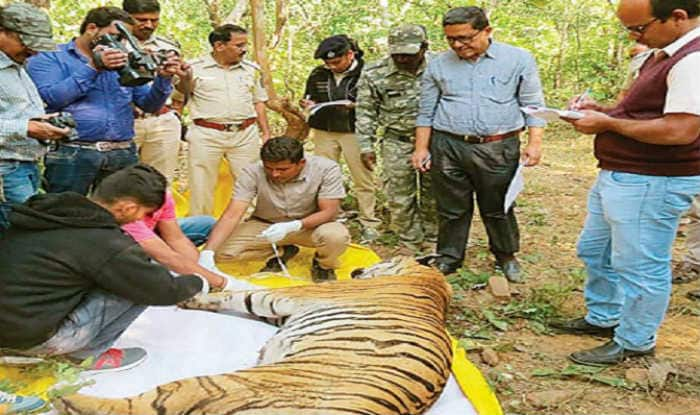 Maharashtra: Two Tigers Die Within 24 Hours; Suspected Case of Poisoning, Say Forest Officials