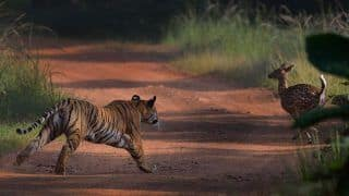 World Tiger Day 2019: PM Modi to Release Results of The Fourth Four-Yearly All India Tiger Estimation Exercise Carried Out Across India