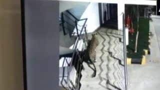 Maharashtra: Leopard Spotted at Shopping Mall, Hotel Basement in Thane, Triggers Panic