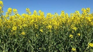 Should You Switch to Rapeseed Oil?