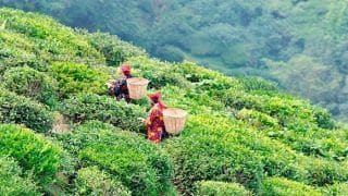 5 Must Visit Tea Estates in Darjeeling