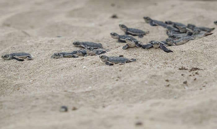 To Catch Newborn Olive Ridley Turtles in Action, Head to Anjarle Beach