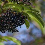 Here's Why Elderberries Are Good For You