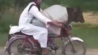 Pakistan Man Rides a Bike With Cow Calmly Sitting in Front, Watch Viral Video