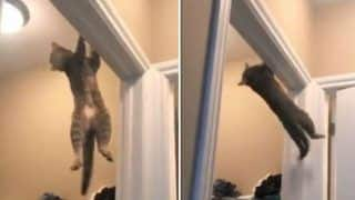 Cat-Wheeling? THIS Viral Video of Pet Feline Doing Acrobatic Jump Puts Athletes to Shame