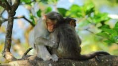 यूपी: फेफड़े सूजे, तेज़ बुखार आया और मर गए 15 बंदर, लोगों को कोरोना वायरस पर शक