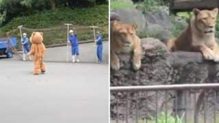 Japan Zoo Performs Lion Escape Drill And Zoo Lions Have Hilarious Reaction to It - Watch Viral Video