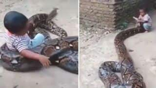 Kevin Pietersen Shares Video of Kid Trying to Play With a Huge Snake, Video Goes Viral