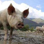 North Korean State Media Acknowledges Outbreak of Swine Flu