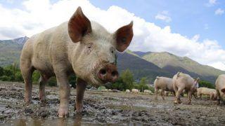 अजब-गजब: सुअरों का होगा 'शूटआउट', तैयार किया गया Plan