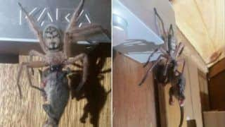 Giant Spider Goes Viral After Picture of it Eating Possum Circulates on The Internet