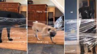 Invisible Challenge: People Prank Their Dogs With Cellophane
