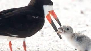 Disheartening! Mother Bird Feeds Cigarette Butt to Chick at Florida Beach, Netizens Raise Concern