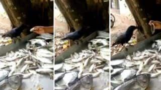 Viral Video: Kerala Crow Bargains With Fishmonger Until it Gets a Bigger Fish it Wanted