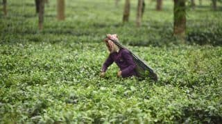 Maijan Orthodox Golden Tea Fetches Rs 70,501 Per kg, Sets Record
