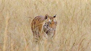 International Tiger Day: भारत में अब 3 हजार के करीब पहुंची बाघों की संख्या, पीएम मोदी ने जारी की रिपोर्ट