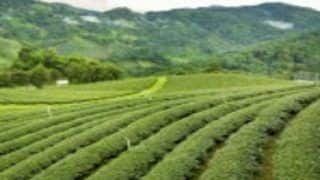 Rare Assam Tea Goes For Rs 75,000 Per kg at Auction
