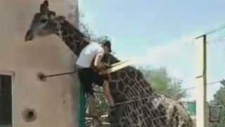 Drunk Man Climbs And Rides on Giraffe in Kazakhstan Zoo, Watch What Happens Next