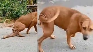 Dog in Thailand Cheats People by Faking a Broken Leg, Cute Video Goes Viral