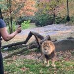 Bizarre! New York Woman Climbs Inside Lion Enclosure at Zoo And Starts Dancing - Watch Viral Video