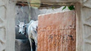 Bull Eats 40 Grams of Gold Ornaments After Women's Negligence in Sirsa