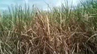 सूखा प्रभावित मराठवाड़ा में भारी बारिश से फसलें बर्बाद, किसानों ने नहीं मनाई दिवाली