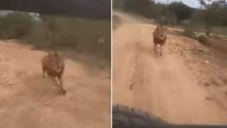 Lion Chases Tourist's Safari Car in Karnataka's Zoological Park- Watch Viral Video