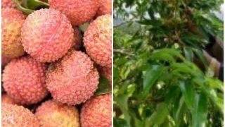 दक्षिण भारत में मिलेगा अब शाही लीची का स्वाद, सिर्फ गर्मी में ही नहीं इस महीने में उठा सकेंगे इसका लुत्फ
