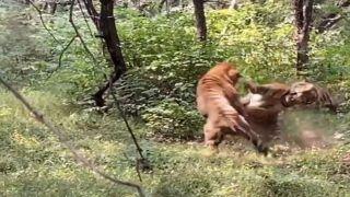 VIDEO: हीरोइन के लिए हीरो और विलेन को लड़ते बहुत देखा, देखिए बाघिन के लिए दो बाघों की लड़ाई
