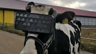 Cows in Russian Farm Get VR Headsets to Reduce Anxiety, Know The Reason Here