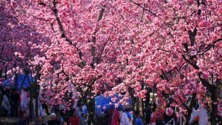 India and South Korea to Jointly Celebrate Cherry Blossoms Festival in Meghalaya