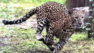 Leopard Spotted in NTPC Premises in Greater Noida, Operation to Trap it Launched